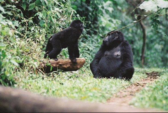 Gorilla Mamma med Uganda