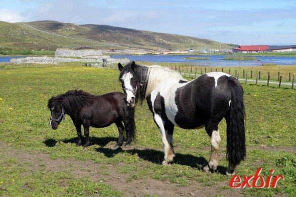 Ein Shettland Pony in der Nähe der Haupstadt Lerwick.  Foto: Christian Maskos