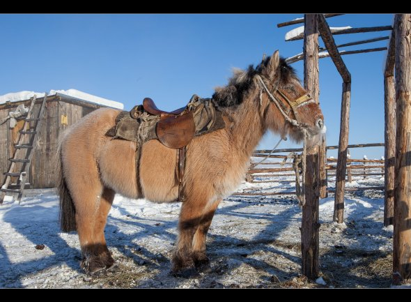 This is a yakutian horse thaken in Oymyakon in February