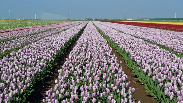 Tulips in the Flevopolder, Niederlande