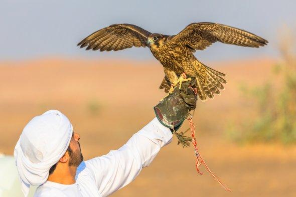 Falkentraining in der Wüste.