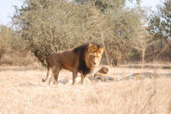 Lion Park in der Provinz Gauteng.