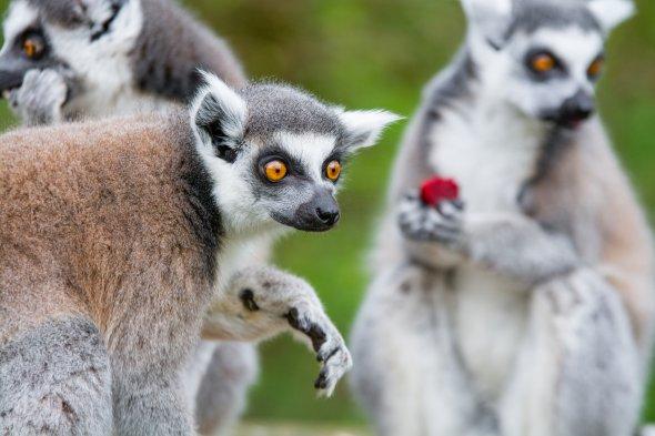 Lemur, Madagaskar