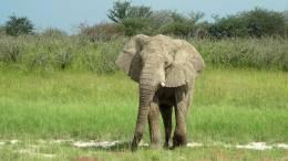 Elefant im Etosha Nationalpark in Namibia.