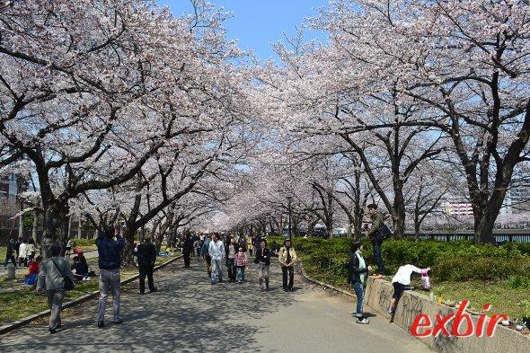 Kirschblütenpracht in Osaka.  Foto: Christian Maskos