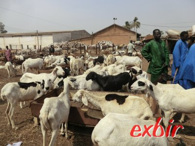 Viehmarkt in Banjul. Foto: Wolfgang Hesseler