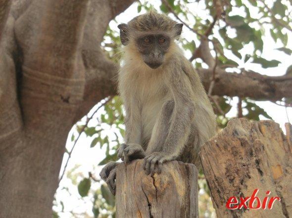 Affe im Abuko Nature Reserve. Foto: Wolfgang Hesseler
