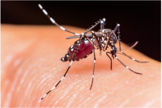 Ades mosquito: A main vector for dengue/JE and Zika virus
