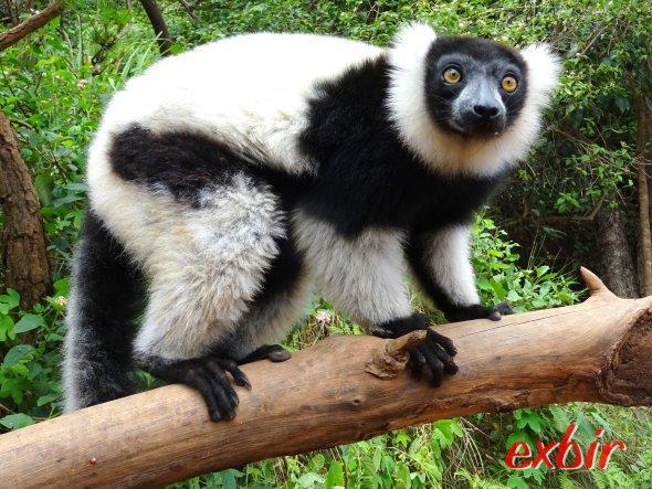 Lemur auf Madagaskar.