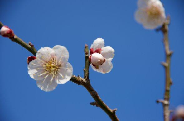 Kirschblüten im südjapanischen Fukuoka