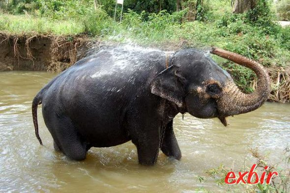 Elefant in Sri Lanka.