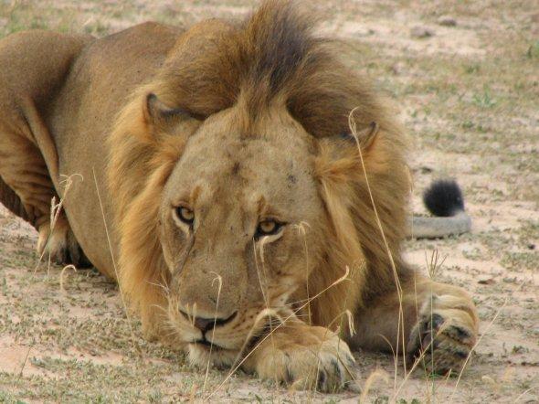 Ein Löwe im Murchison Falls National Parc in Uganda
