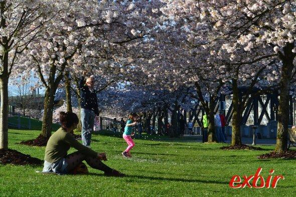 Absolut positive Überraschung: Portland inOregon, hier die Kirschblüte am Flußuferim Zentrum.Foto: Christian Maskos