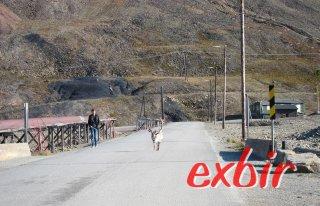 Rentier in Longyearbyen